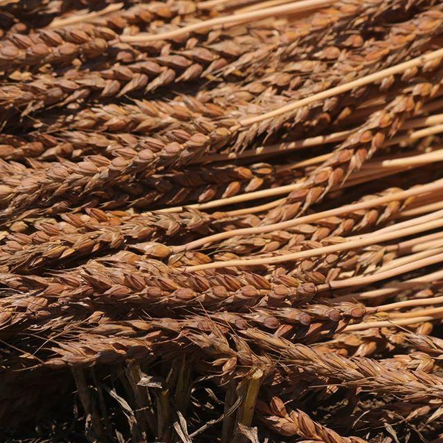 小麦にも個性がある。wheats all look different.#オオトパン#八ヶ岳麦民#小麦栽培#山梨#八ヶ岳#北杜#山梨パン屋#国産小麦#南部小麦#wheat#japan#agriculture#japanese#yamanashi#baker#bread#bakery